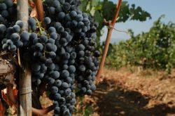 Kayra Elazığ Bağ Bozumu ve Şarap Tadım Gezisi