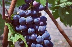 Pinot Noir - Chamlija